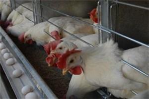 در پی کاهش تقاضا، مرغداران به فکر زمستان سرد باشند