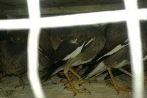 کشف 14 پرنده از مخفیگاه شکارچی متخلف در گلستان