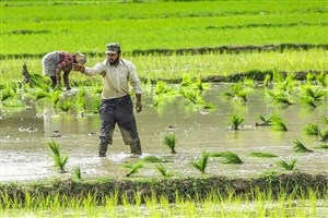 ممنوع شدن کشت برنج در گچساران و باشت