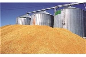 پیش بینی تولید ۱۳.۵ میلیون تن گندم طی امسال و بی نیازی از واردات