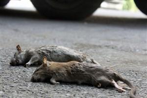 شناسایی بیش از 700 منفذ فعال موش در طرح فوریتی نگهداشت شهر