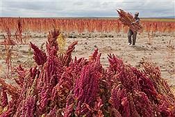 برداشت کینوآ در بولیوی