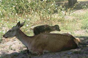 جمعیت مرال ها در تهدید انقراض