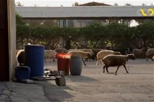 گوشت را گران نخریدقیمت هر کیلو گوشت دام زنده ۱۸۵۰۰ تومان است