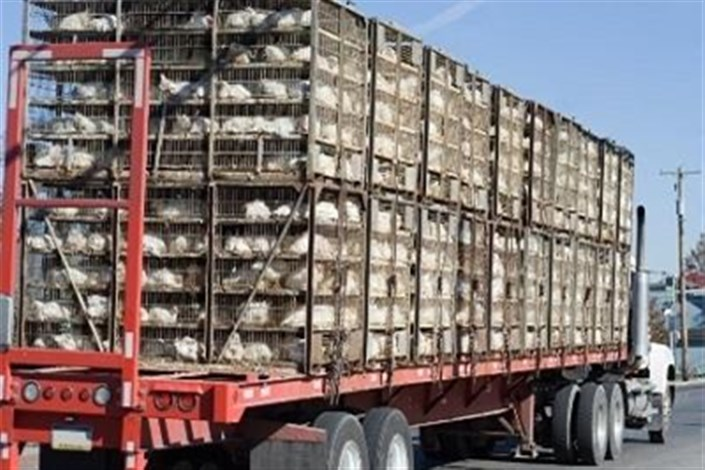 5 دستگاه کامیون حامل مرغ های غیر بهداشتی توقیف شد