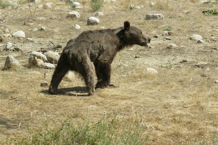 تلف شدن خرس قهوه ای در پارک ملی گلستان