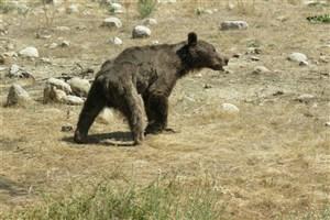 محل حمله خرس گرسنه به مأموران محیط زیست کجاست؟