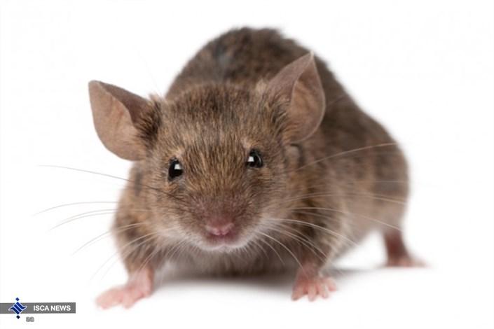 حمله موش ها به دختری در فرانسه