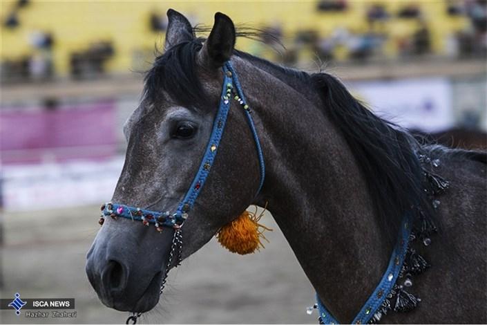 جشنواره اسب سنندج