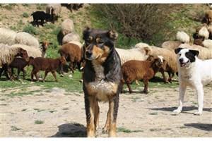 سگ ها ،پنج یوز پلنگ را کشتند!
