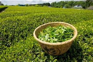 رشد ۲۷.۷ درصدی قیمت خرید تضمینی برگ سبز چای در سال ۹۹