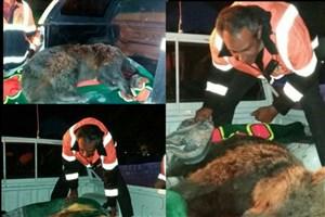 خرس زخمی حادثه کندوان نجات یافت