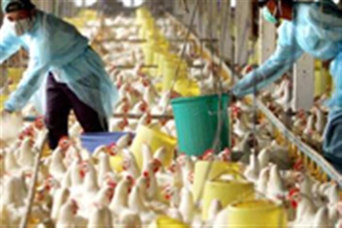 انفولانزای مرغی