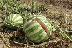 جلوگیری از کشت هندوانه در چرام