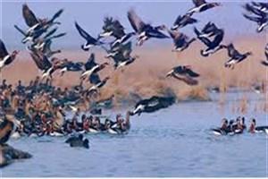 پرندگان اهلی؛ طعمههایی برای شکار پرندگان وحشی در گیلان