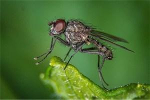 کشف راز خیسنشدن مگسی که در آب شیرجه میزند
