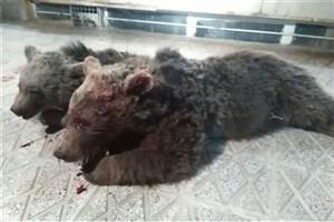 ۲ قلاده خرس قهوه ای در شاهرود تلف شدند