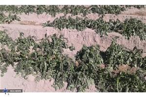 خسارت سرما به مزارع سیب زمینی عنبرآباد