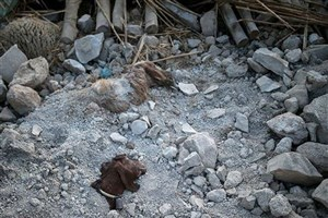 فردا؛ آغاز پرداخت کمکهای بلاعوض به دامداران مناطق زلزلهزده کرمانشاه