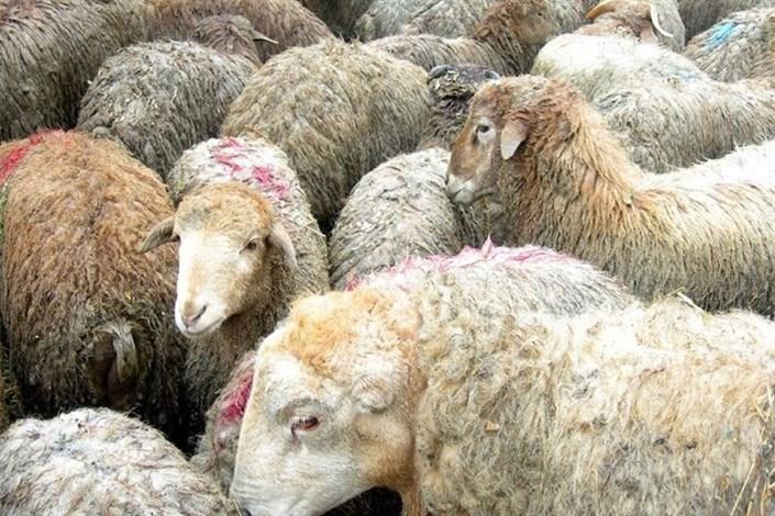 کشف 155 راس  گوسفند قاچاق در یزد