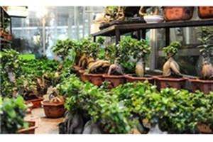 چرا نباید گلهای «بنسای» و «بامبو» را بخریم؟