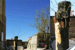 قطع درختان معابر شهری سلماس