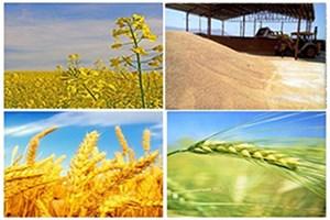 شورای اقتصاد نرخ گندم و کلزا را اعلام کند/2برابر شدن تولید دانه روغنی کلزا  در سال جاری