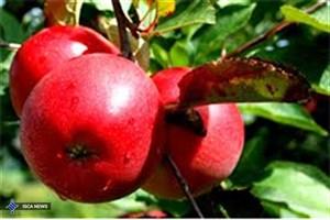 درخواست سازمان توسعه تجارت برای حذف یارانه صادراتی سیب
