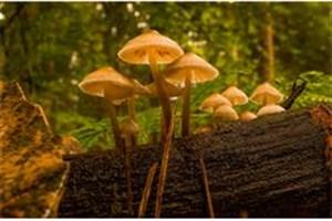 جوشاندن و یا حرارت دادن  قارچ ها، خطرمسمویت  را  از  بین نمی برد