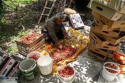 برداشت توت فرنگی در روستای شیان