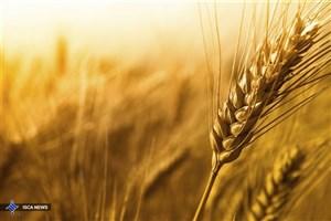 خرید تضمینی ۸ میلیون و ۸۰۰ هزار تن گندم/ کشاورزان برنج به ما عرضه نکردند