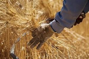 همکاری مشترک ایران و مرکز بین المللی «سیمیت» برای رشد 30 درصدی تولید گندم