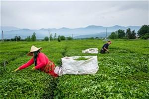تولید با کیفیتترین چای دنیا به صرفه نیست!