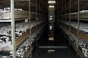 تصویب معافیت مالیاتی تولیدکنندگان بستر کشت قارچ