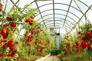 صادرات گوجه فرنگی گلخانهای ممنوع نیست
