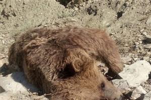 گرفتار شدن یک توله خرس قهوهای در تله سیمی/ مرگ یک خرس بالغ در مازندران /خرسها را نکشید!