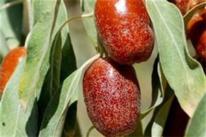 S & R IAU Researcher Extracts Essential Fatty Acid from Elaeagnus Angustifolia