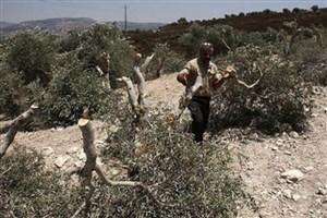 قطع درختان زیتون فلسطینیها توسط شهرکنشینان صهیونیست