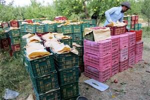 کاهش تولید کیوی و سیب درختی/ نیاز بازار را تامین می کنیم