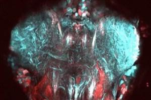 ارائه تصویربرداری جدید برای مشاهده حرکت نورون های مگس