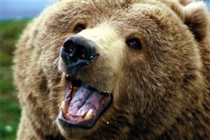 خرس وحشی ، یک نفر را در شهرستان مرودشت فارس زخمی کرد