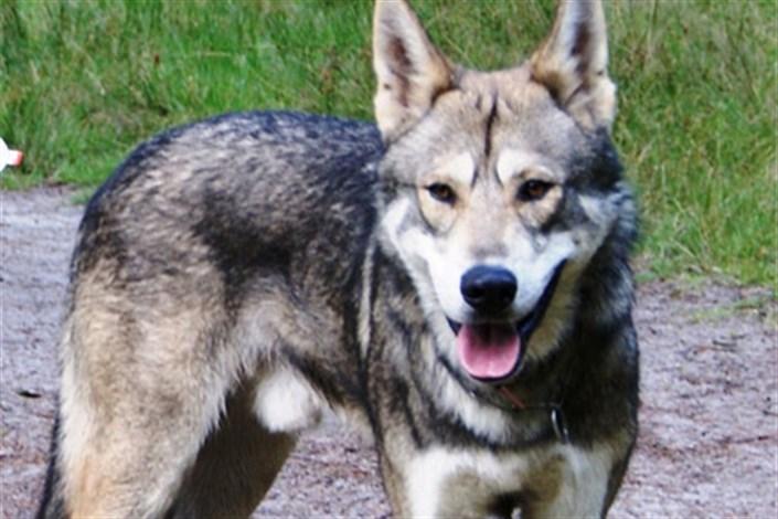 گرگ های هیبریدی