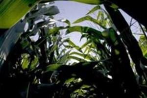 زیستفناوری کشاورزی به کمک محیط زیست و سلامت میآید