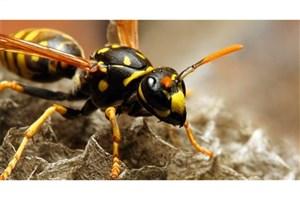 تهیه آنتی بیوتیک از زهر زنبور سرخ