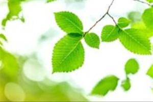 ساخت برگ مصنوعی توسط محققان کشور راهکاری برای جایگزینی انرژیهای پاک