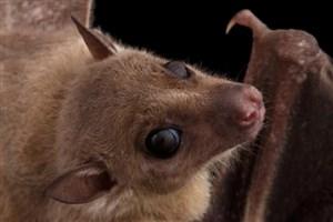 کشف ویروس مرگبار در خفاش