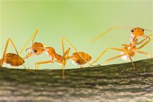کلونی مورچه ها مانند یک مغز عمل می کند