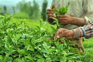 ایران بزرگترین واردکننده چای هندی شد