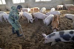 اعلام شیوع بیماری تب خوک آفریقایی در چین