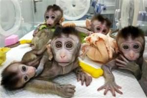 کلون شدن میمون های ویرایش ژنی شده در چین